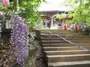 太江寺の藤まつり(伊勢市二見町江)