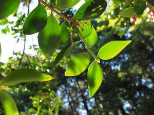 八尋殿の前に立つ梛の木の葉(神麻続機殿神社)