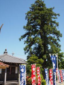 広葉杉(こうようさん)(安楽寺)