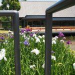 外宮勾玉池の花菖蒲