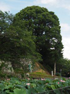 田丸城址、玉城町役場付近の内堀の大賀ハス