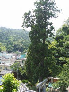 九鬼千本杉の残る一本、賀多神社(鳥羽市鳥羽)