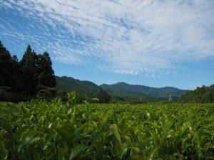 久具都比賣神社(皇大神宮 摂社)付近から茶畑越しに望む獅子ヶ岳方向