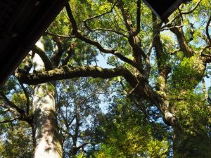 杉と楠の御神木、茜社(伊勢市豊川町)