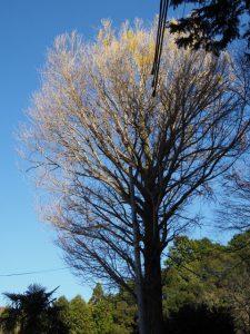 ほとんどの葉を落とした寶積寺のイチョウ(度会郡大紀町)
